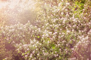 Blossoming apple tree, spring blurre