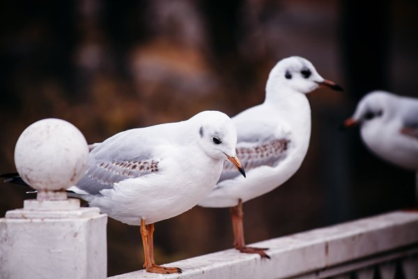 Stock Photos: 5PH - Two silly gulls on the parapet of th
