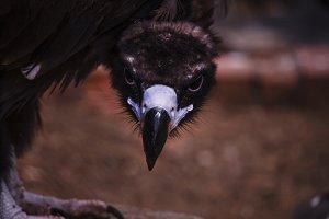 Eagle glance, portrait, selective fo