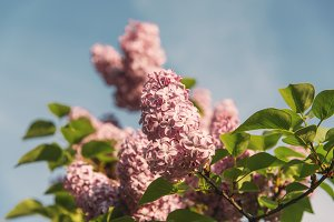 Pink Lilac in the early Spring