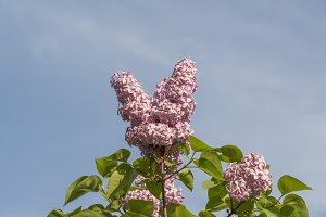 Pink Lilac Flower in early Spring