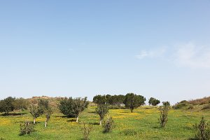 A green grass and olive trees
