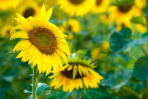 Beautiful yellow Sunflower in summer