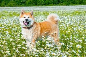 Akita - young dog standing on the gr