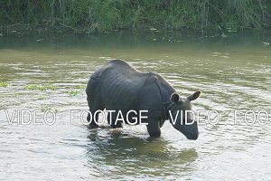 Rhino eats and swims in the river