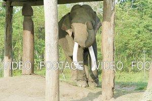 Elephant witk big tusks in the farm