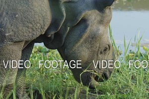 Rhino eats green grass. Chitwan