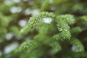 Raindrops on fir branch