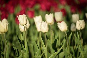 White beautiful tulips
