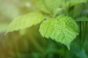 Rain drops of green leaf