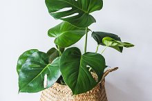 Monstera Deliciosa by  in Nature