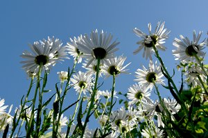 White daisies from below