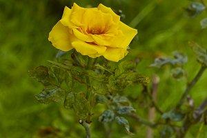 beautiful yellow rose Bush yellow ro