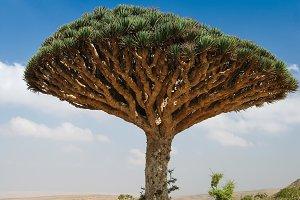 Dragon tree, endemic plant of Socotr