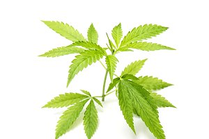 Hemp green leaves Cannabis marijuana