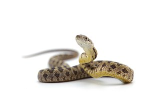 Rat snake isolated on white