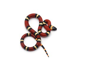 Milk snake isolated