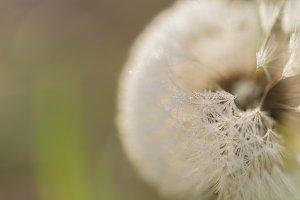 Dreamy dandelion macro on light gree