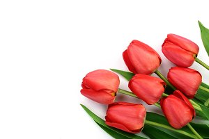 Beautiful red tulips on white