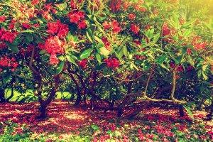 Flowering magnolias