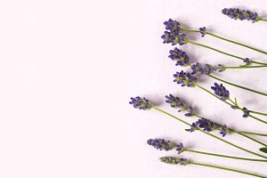 Fresh lavender flowers on pink backg