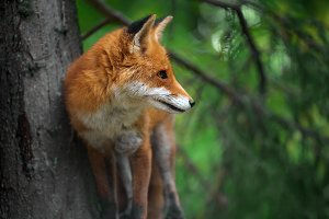 Portrait of a red fox (Vulpes vulpes