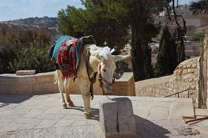 The white donkey poses for tourists.