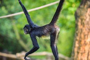 Geoffroy's Spider Monkey on a rope