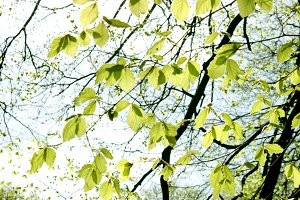 Spring Beech Branches Leaves