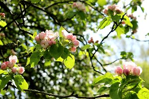 Apple Blossoms Pink Flowers