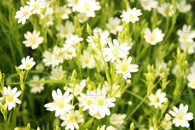 Wild Flowers Flax White