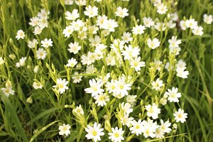 Wild flower white flax