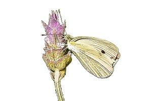 Dibujo vectorial de mariposa