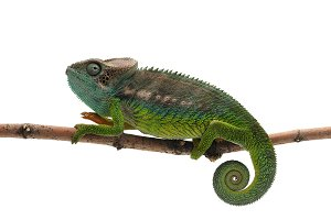 spiny Chameleon isolated