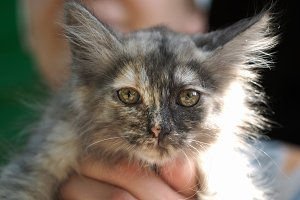 Funny calico kitten at the hands of