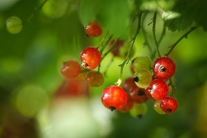 Red currant. Berries ripe on a