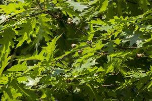 green foliage oak