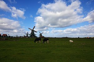 Windmills and cows in village in Hol