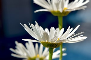 White daisies on dark background