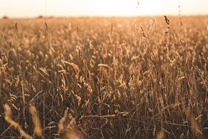 Field of Wheat and Grass at Sunset