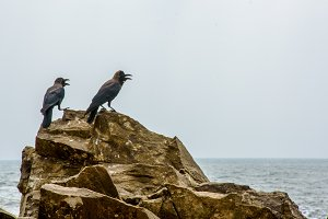 Two black crows sitting on the rocks