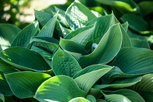 Full frame Hosta leaves pattern back