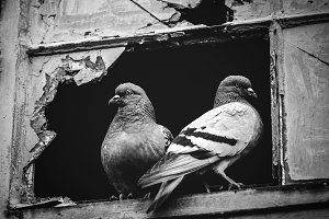 Two pigeons sitting together in a br