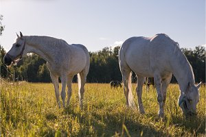 couple of white horses graze in a