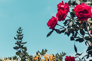 Pink rose flowers, green plants and