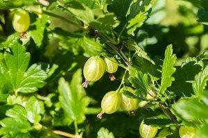 Fresh gooseberry fruits harvest crop