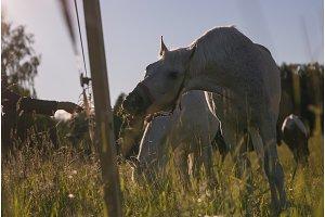 girl feeding couple of white horses