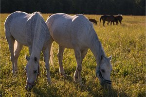 group of chestnut and white horses