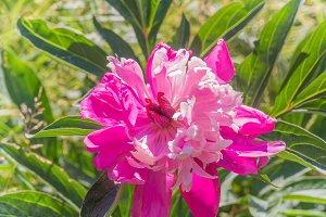 Beautiful blooming pink peony flower