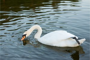 white swan on the summer lake